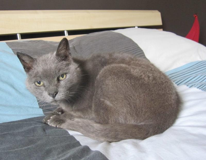 E.T., chat typé chartreux, né en 2009, en DON LIBRE Et_111