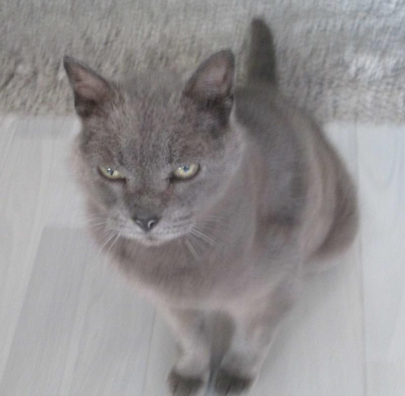E.T., chat typé chartreux, né en 2009, en DON LIBRE Et_310