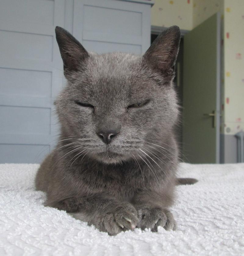 E.T., chat typé chartreux, né en 2009, en DON LIBRE Et_410
