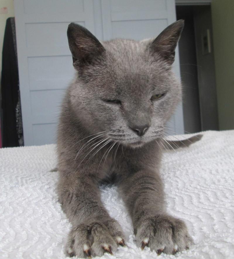 E.T., chat typé chartreux, né en 2009, en DON LIBRE Et_510