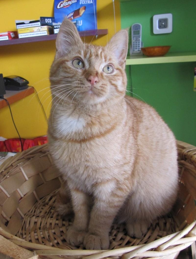 largo - LARGO, chaton européenne tigré roux, né en Novembre 2015 Largo_11