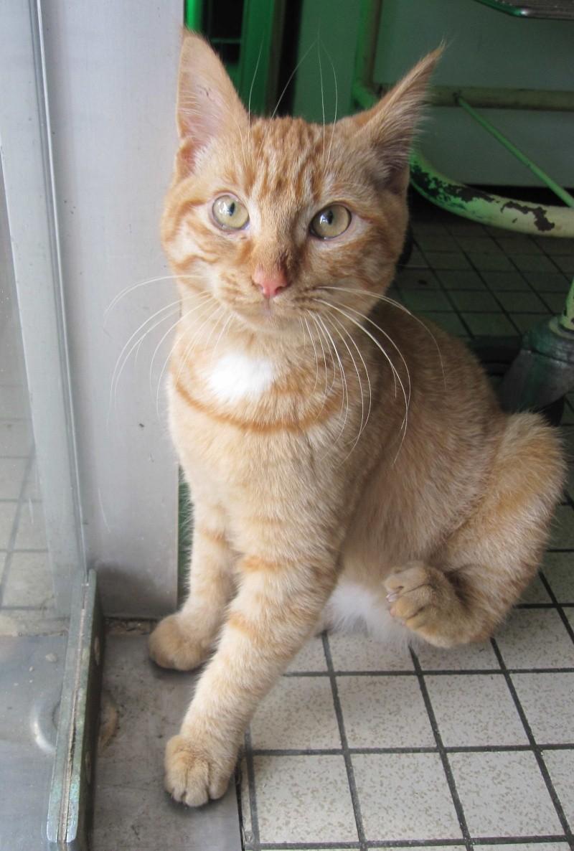 largo - LARGO, chaton européenne tigré roux, né en Novembre 2015 Largo_12