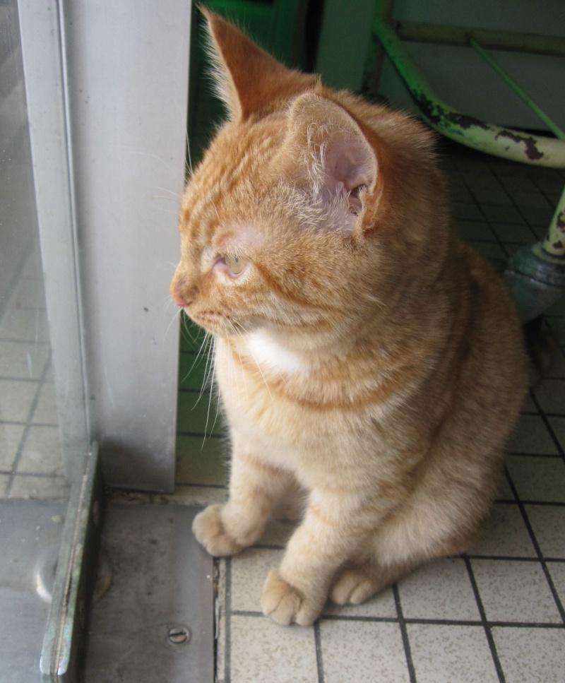largo - LARGO, chaton européenne tigré roux, né en Novembre 2015 Largo_13