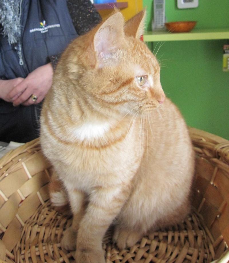 largo - LARGO, chaton européenne tigré roux, né en Novembre 2015 Largo_14