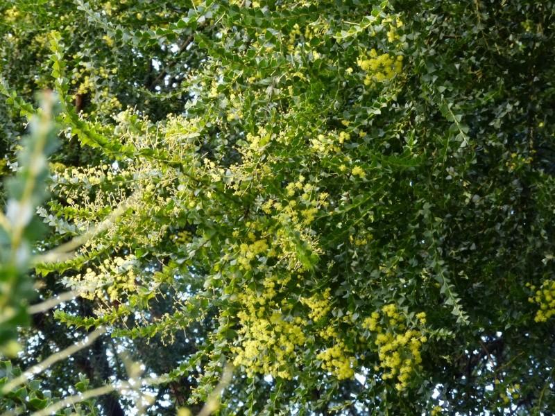 derniers frissons, premiers bourgeons - Page 3 Acacia10