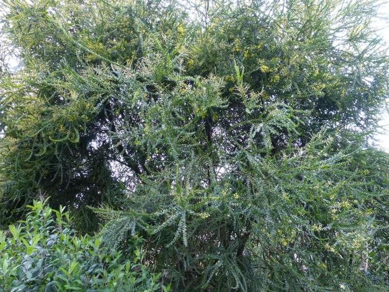 Acacia pravissima - mimosa Acacia12