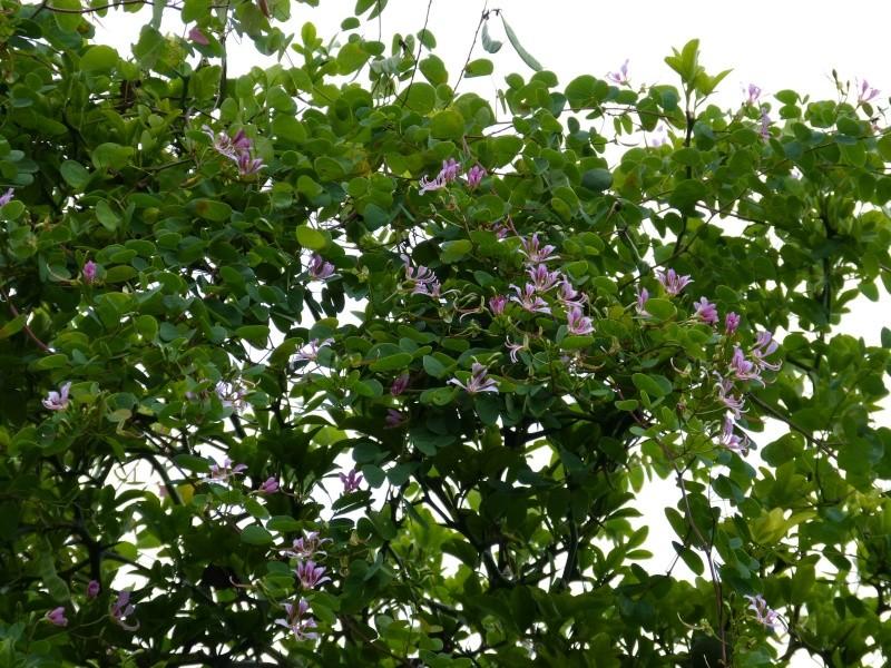 Bauhinia yunnanensis - Page 2 Bauhin14
