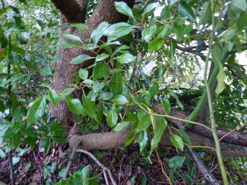 Cinnamomum camphora - camphrier - Page 3 Cinnam11