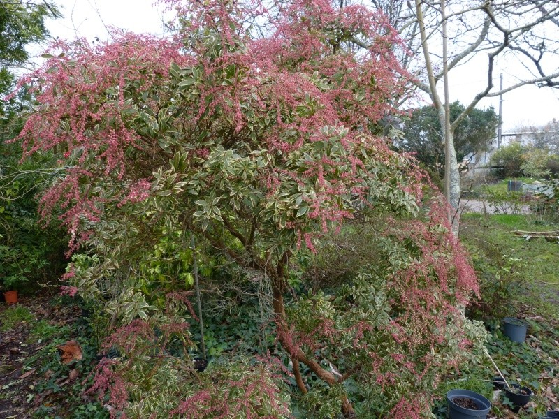 Pieris japonica 'Little Heath Green' Pieris11