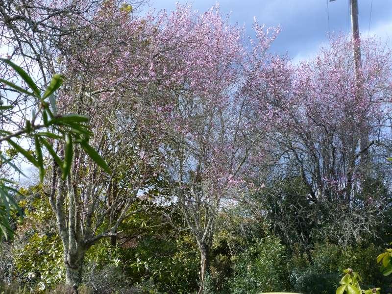 éclosions martiennes, non, oups, marsiennes  - Page 2 Prunus10
