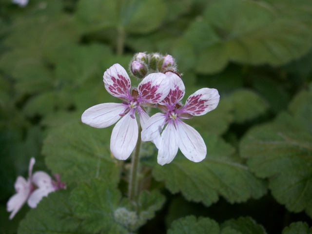 Erodium pelargoniflorum ≠ Erodium trifolium - discussion Erodiu12