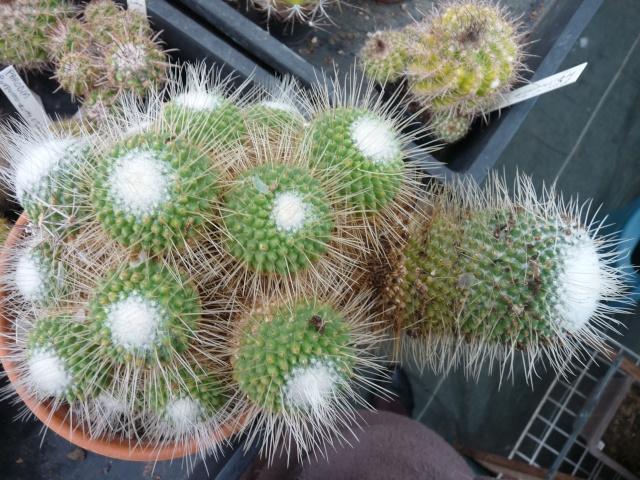 Mammillaria spinosissima cv. 'Un Pico' P1020312