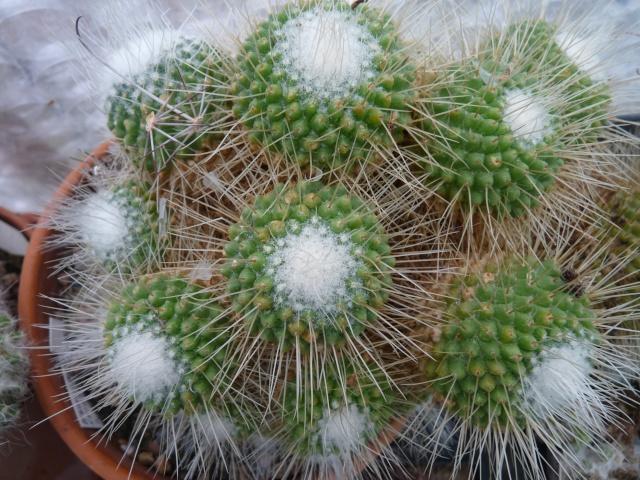 Mammillaria spinosissima cv. 'Un Pico' P1020313