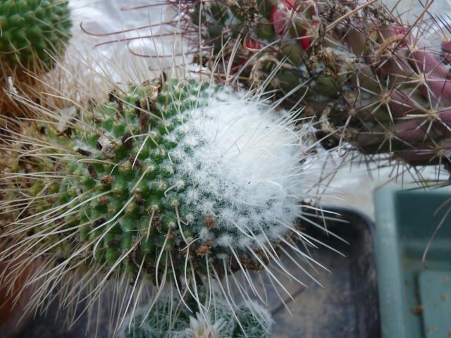 Mammillaria spinosissima cv. 'Un Pico' P1020314