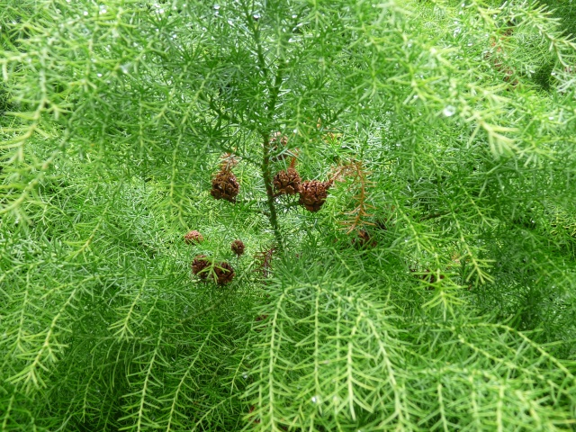 Cryptomeria japonica P1020320