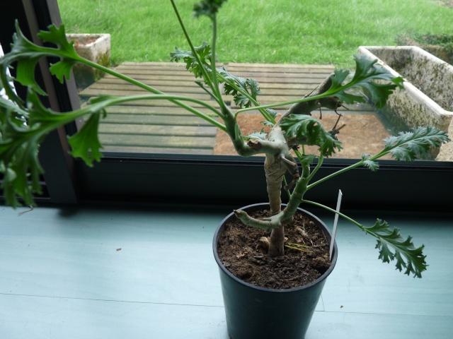 Pelargonium laxum P1020321