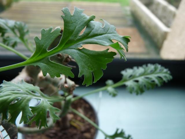 Pelargonium laxum P1020322