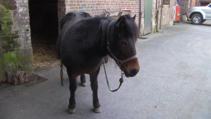 IDOLE - OI poney typée Shetland née en 1996 - adoptée en juillet 2016 par la ferme enfantine de Dammarie les Lys Idole110