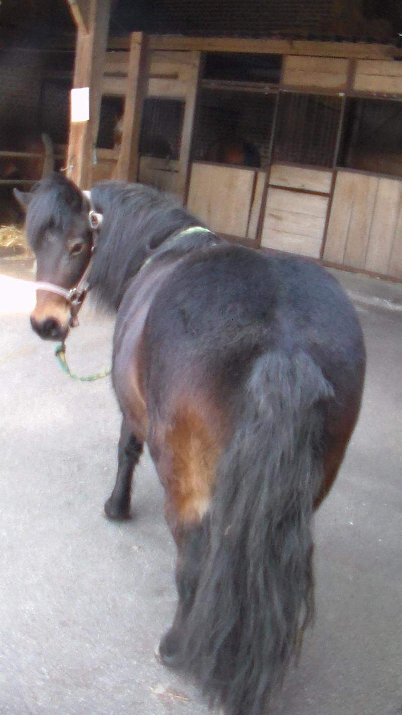 IDOLE - OI poney typée Shetland née en 1996 - adoptée en juillet 2016 par la ferme enfantine de Dammarie les Lys Idole510