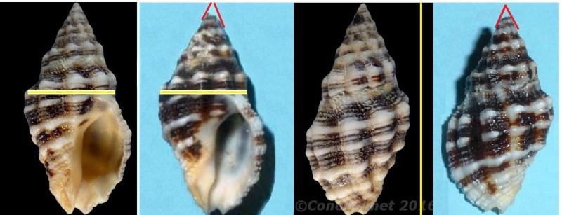 Cronia aurantiaca - (Hombron & Jacquinot, 1848) 1272410