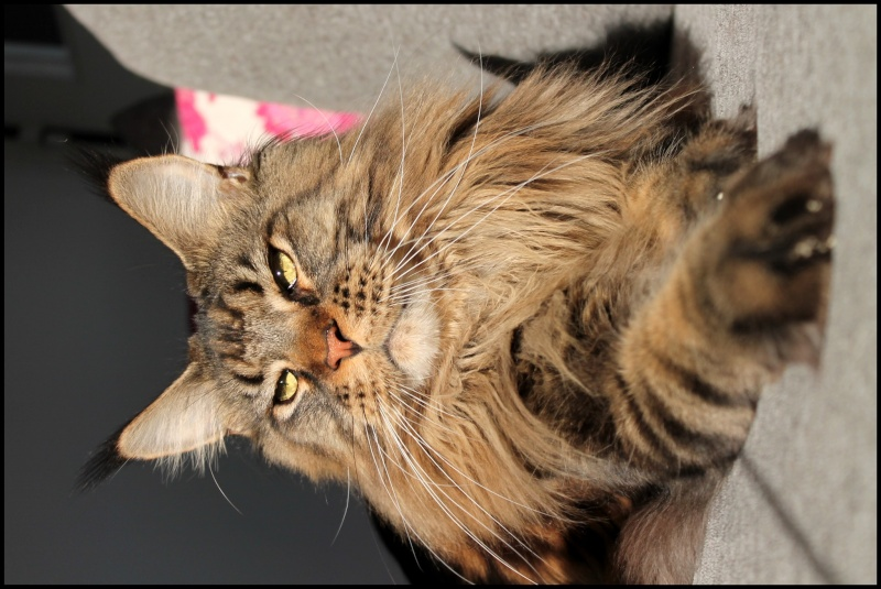 Le Maine Coon - Page 7 Img_2114
