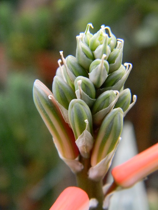 Aloe variegata - Page 2 Aloe211