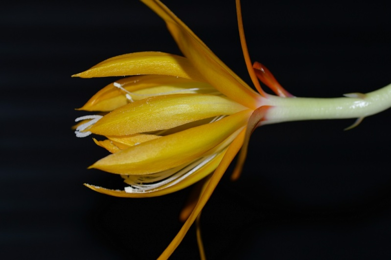 Epiphyllum x 'Frühlingsgold' Fruh11
