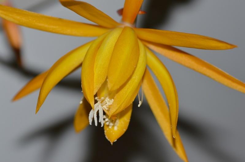 Epiphyllum x 'Frühlingsgold' Fruh111