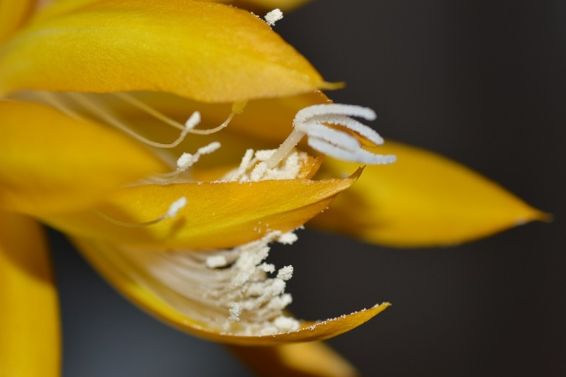 Epiphyllum x 'Frühlingsgold' Fruh311