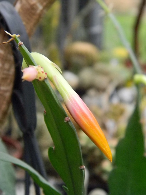 Epiphyllum x 'Frühlingsgold' Fruh512