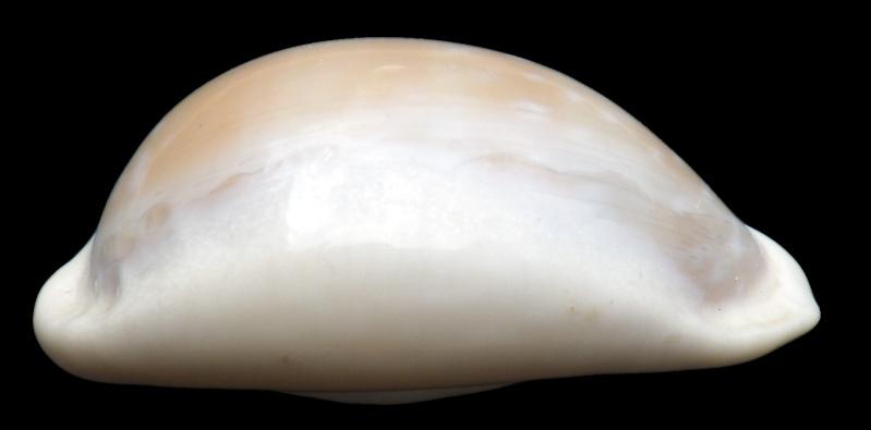 Lyncina camelopardalis sharmiensis - Heiman & Mienis, 1999  Imgp1610