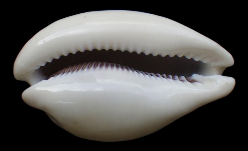 Lyncina camelopardalis sharmiensis - Heiman & Mienis, 1999  Imgp1612