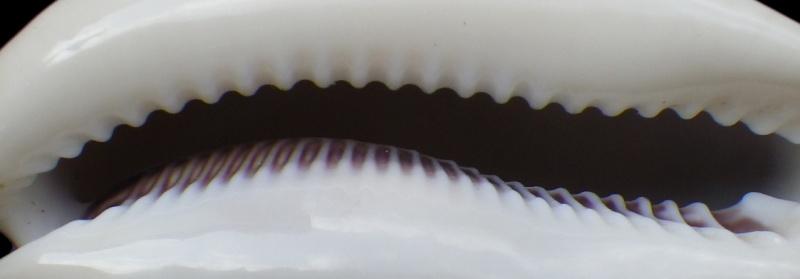 Lyncina camelopardalis sharmiensis - Heiman & Mienis, 1999  Imgp1613