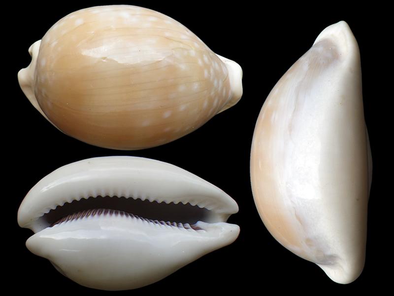 Lyncina camelopardalis sharmiensis - Heiman & Mienis, 1999  Lyncin17