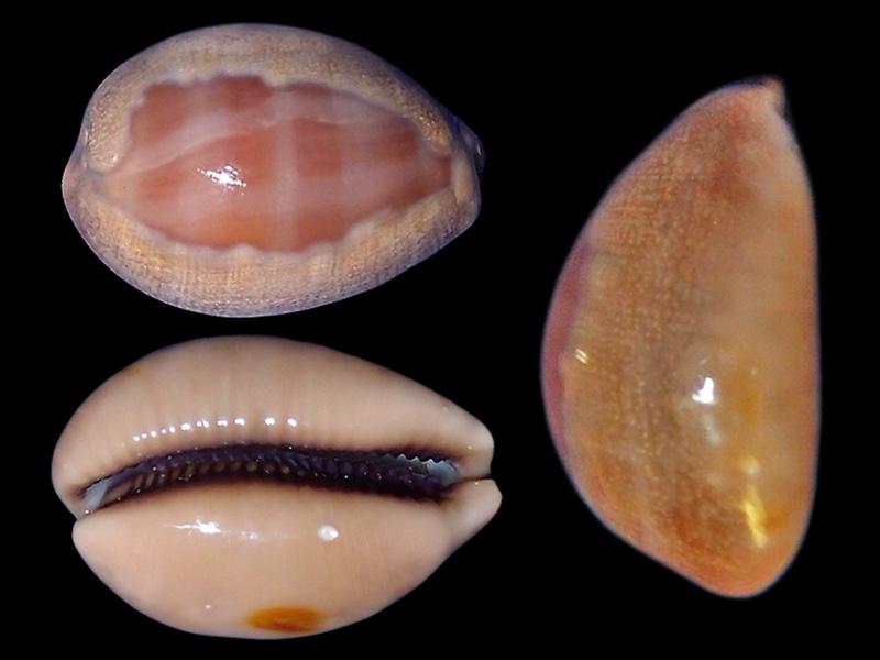 Lyncina carneola crassa - Gmelin, 1791 voir Lyncina carneola - (Linnaeus, 1758)  Lyncin21