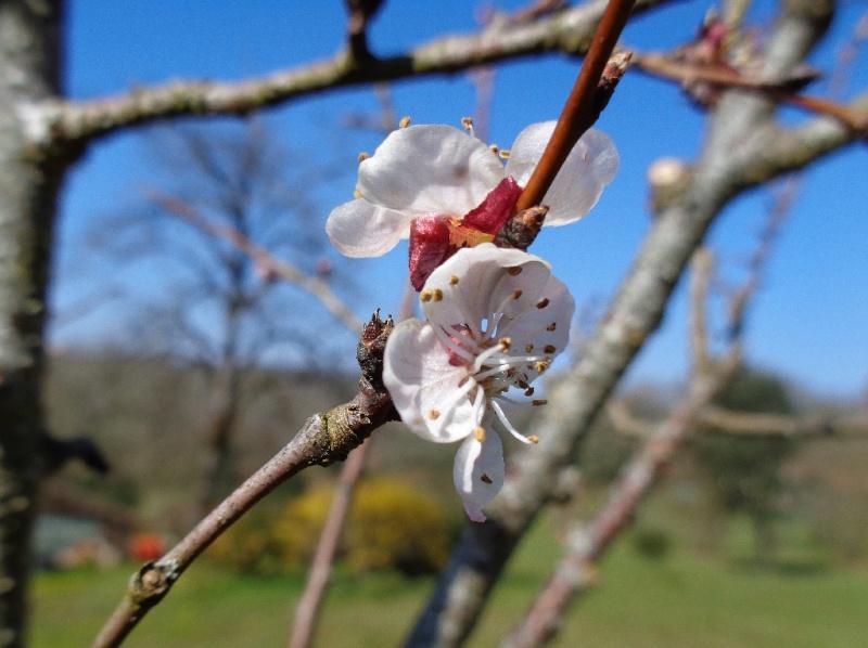 Prémices du printemps Abrico10
