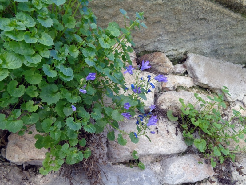 flore des vieux murs, rochers  et rocailles naturelles - Page 6 Dsc00713