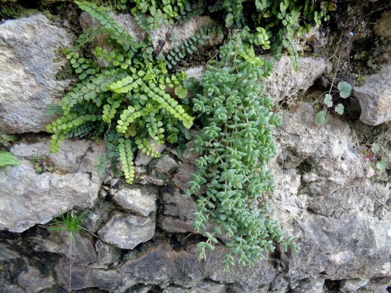flore des vieux murs, rochers  et rocailles naturelles - Page 6 Dsc00715