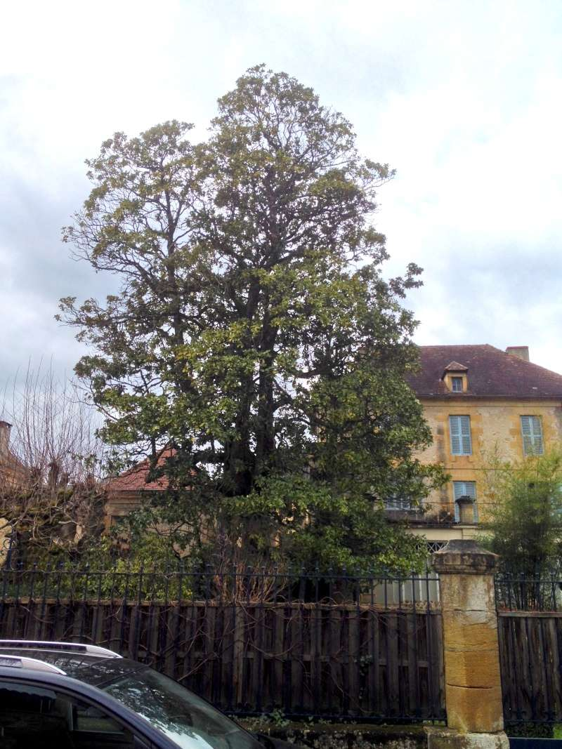 Magnolia grandiflora Magnol10