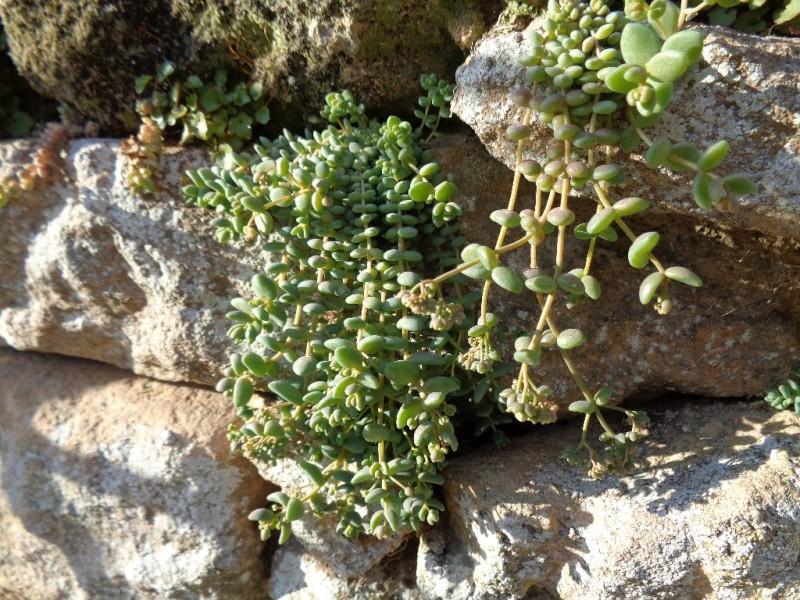 flore des vieux murs, rochers  et rocailles naturelles - Page 7 Sedum_10