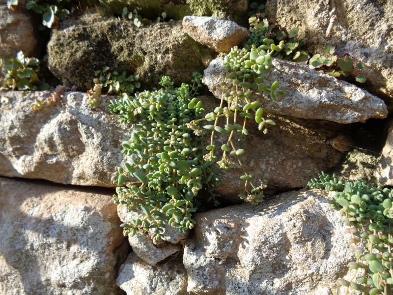 flore des vieux murs, rochers  et rocailles naturelles - Page 7 Sedum_11