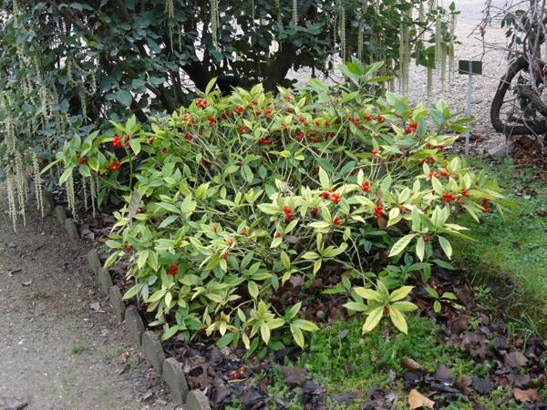 Aucuba japonica - aucuba du Japon - Page 2 Aucuba10