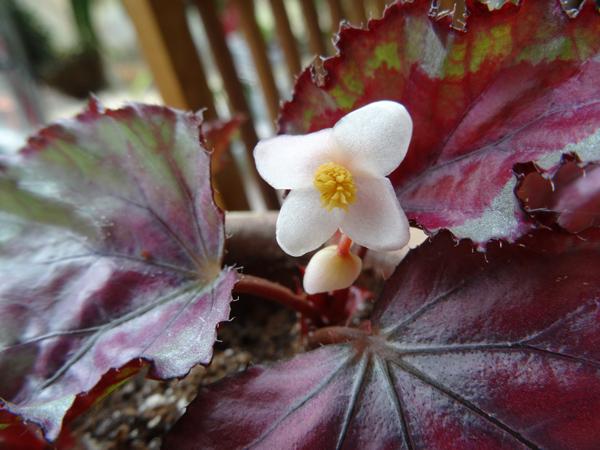 Begonia rex 'Spitfire' Begoni11