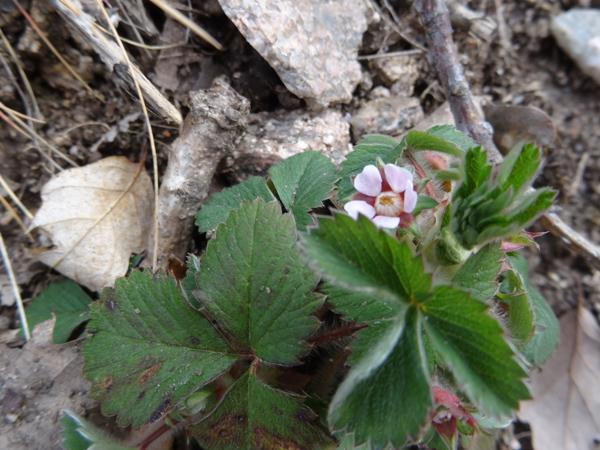 Potentilla micrantha - potentille à petites fleurs Potent11