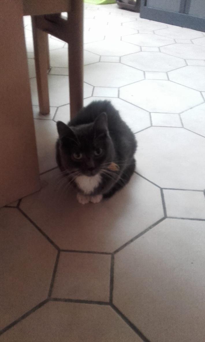 KAIRA, très belle chatte de 2 ans typée chartreuse et blanche 12477110