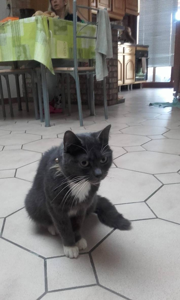 KAIRA, très belle chatte de 2 ans typée chartreuse et blanche 12489810