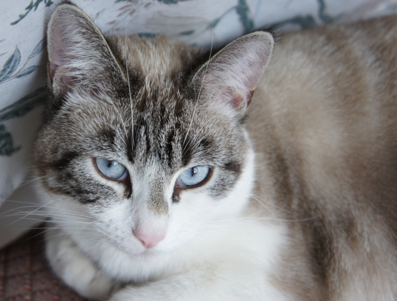 Laïka jeune chatte typée siamoise, gestante, à la rue - Page 3 Dsc07610