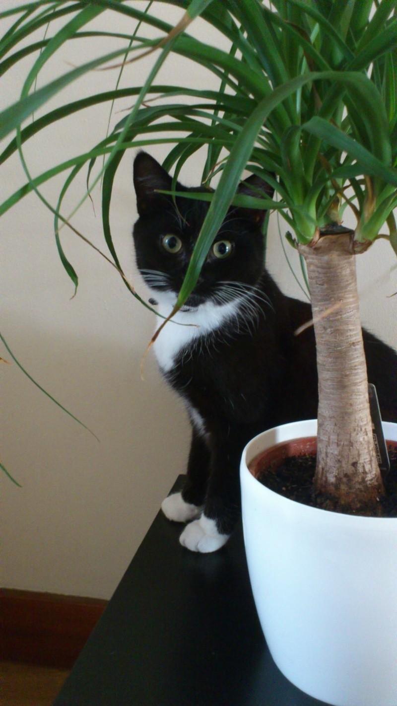 ISAO, très beau junior mâle de 10 mois noir avec smoking blanc Isao_p11