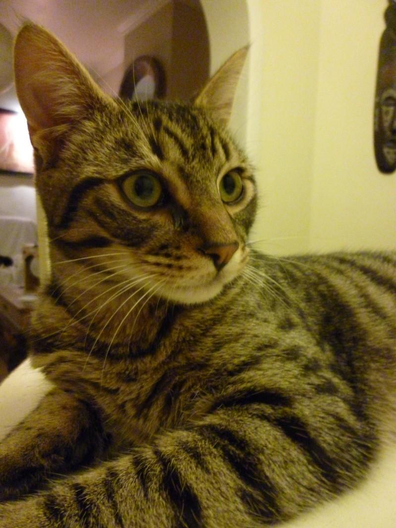 COQUIN, très beau chaton de 3 mois tigré P1020813