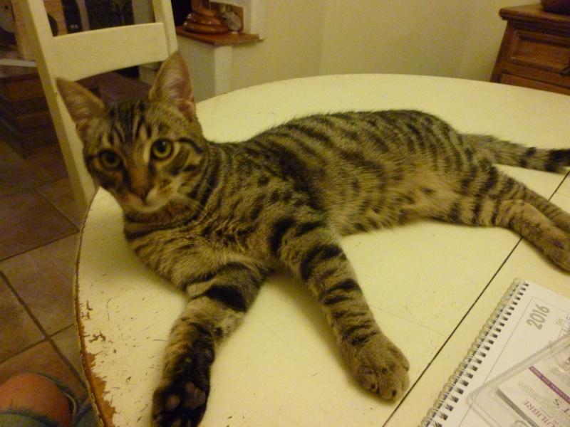 COQUIN, très beau chaton de 3 mois tigré P1020815